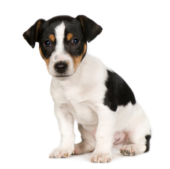 jack-russell-terrier-smooth-2